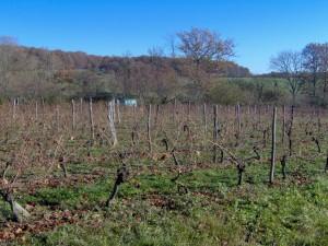 HPIM0626b 300x225 Le Saint Pierre Doré et la vigne