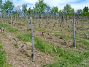 HPIM0827bis 300x227 Le Saint Pierre Doré et la vigne