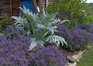 HPIM0872b 300x212 Fleurs et plantes aromatiques
