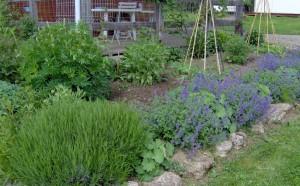 HPIM0874b 300x186 Fleurs et plantes aromatiques