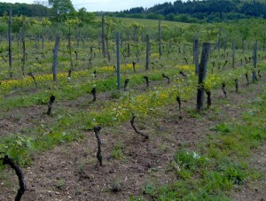 HPIM0885b 300x227 Le Saint Pierre Doré et la vigne