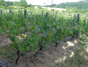 HPIM0942b 300x227 Le Saint Pierre Doré et la vigne