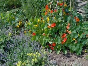 HPIM0954b 300x225 Fleurs et plantes aromatiques
