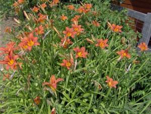 HPIM0956b 300x227 Fleurs et plantes aromatiques