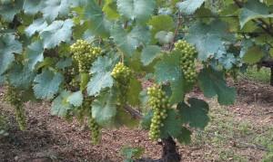 IMAG0157b 300x179 Le Saint Pierre Doré et la vigne