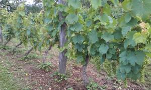 IMAG0162b 300x179 Le Saint Pierre Doré et la vigne