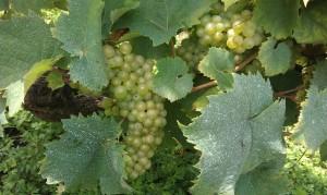 IMAG0173 1b 300x179 Le Saint Pierre Doré et la vigne
