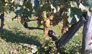 IMAG0276b 300x179 Le Saint Pierre Doré et la vigne