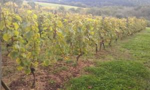 IMAG0314b 300x179 Le Saint Pierre Doré et la vigne