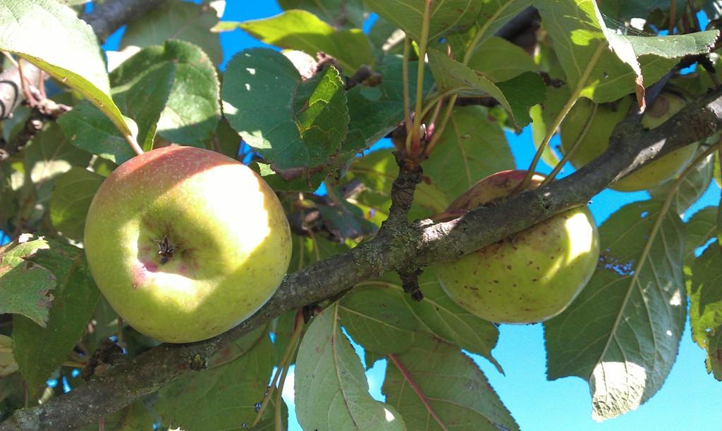Pomme figuier Variétés locales