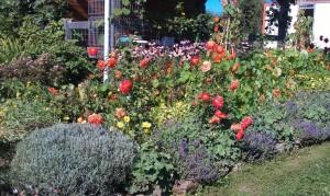 IMAG0224b 300x179 Fleurs et plantes aromatiques