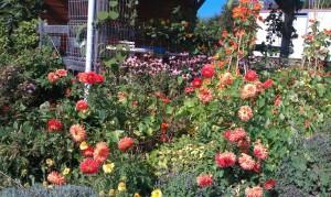 IMAG0241b 300x179 Fleurs et plantes aromatiques