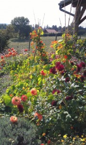 IMAG0243b 179x300 Fleurs et plantes aromatiques