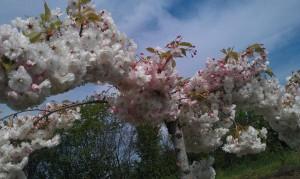 IMAG1686 2 300x179 Fleurs et plantes aromatiques