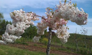 IMAG1699 2 300x179 Fleurs et plantes aromatiques