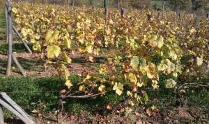 IMAG0363b 300x179 Le Saint Pierre Doré et la vigne