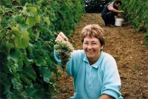 Vendange du St Pierre b 300x201 Le Saint Pierre Doré et la vigne